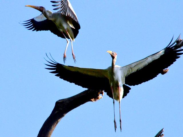 burung terbang di Pulau Rambut