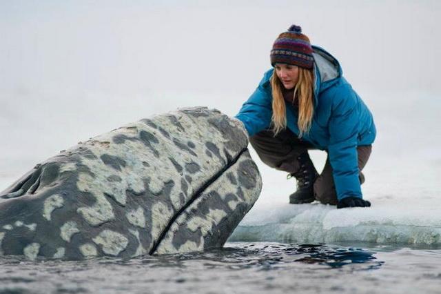 Big Miracle penyelamatan Paus dari dinding es