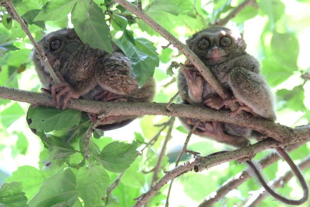 Sepasang Tarsius Monyet Kecil