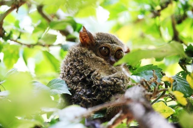 Monyet kecil Tarsius